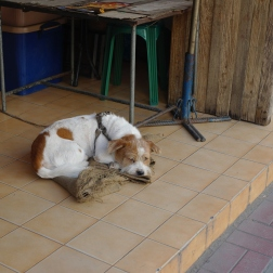This puppy was sleeping on the foot step of a Chiang Mai vet