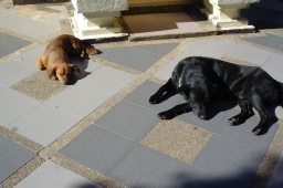 Two sleepy dogs. Nearby their monk owners chit-chatted about stuff in Thai