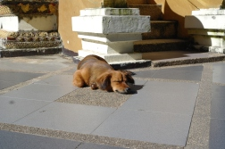 Sleepy saussage sleeps at the foot of a temple in Chiang Mai