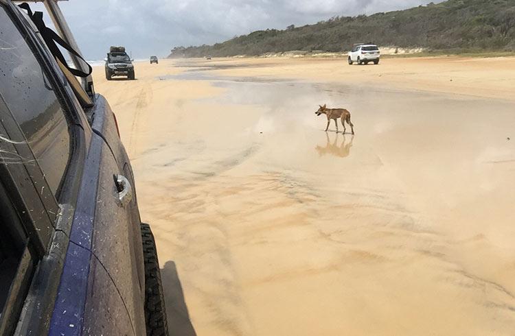 dingo-75-mile-beach