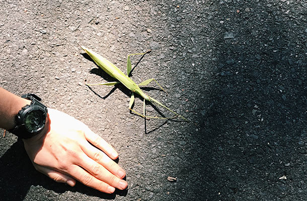 giant-stick-insect