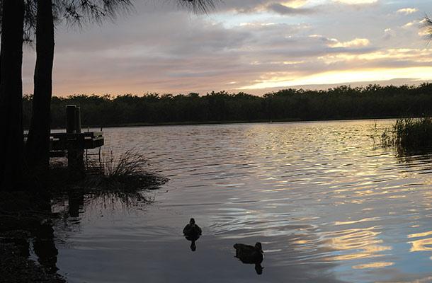 ducks-myall-lake-korsmans