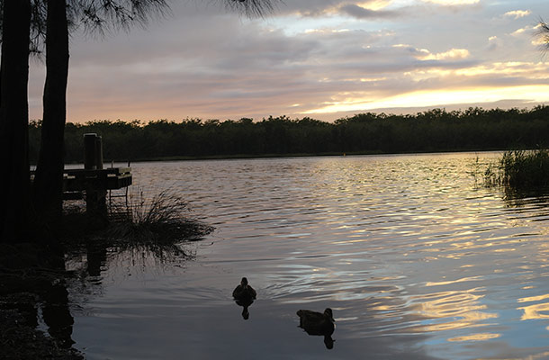 ducks-myall-lake-korsmans