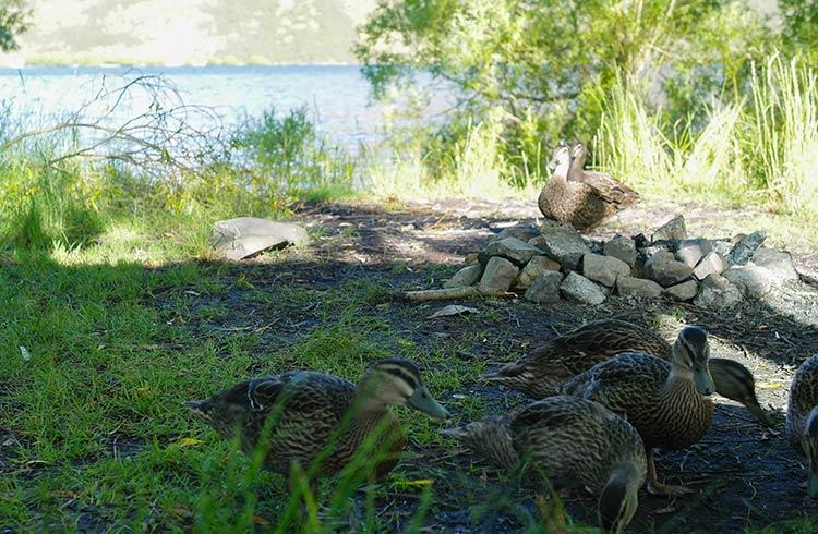 ducks-lake-pearson