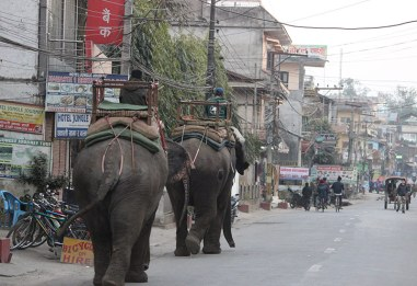 nepal-chitwan-elephants-in-street
