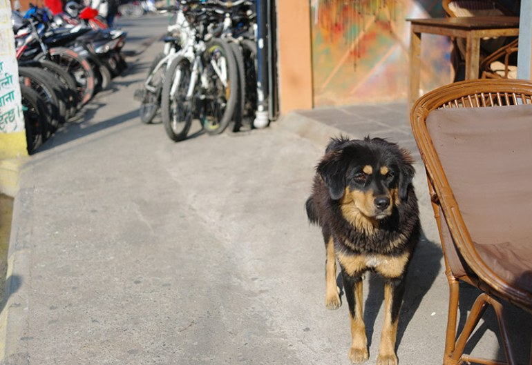 nepal-dog-in-pokhara